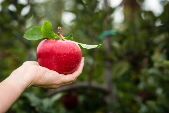 Planting of New Zealand's Newest Apple Exceeds Expectations